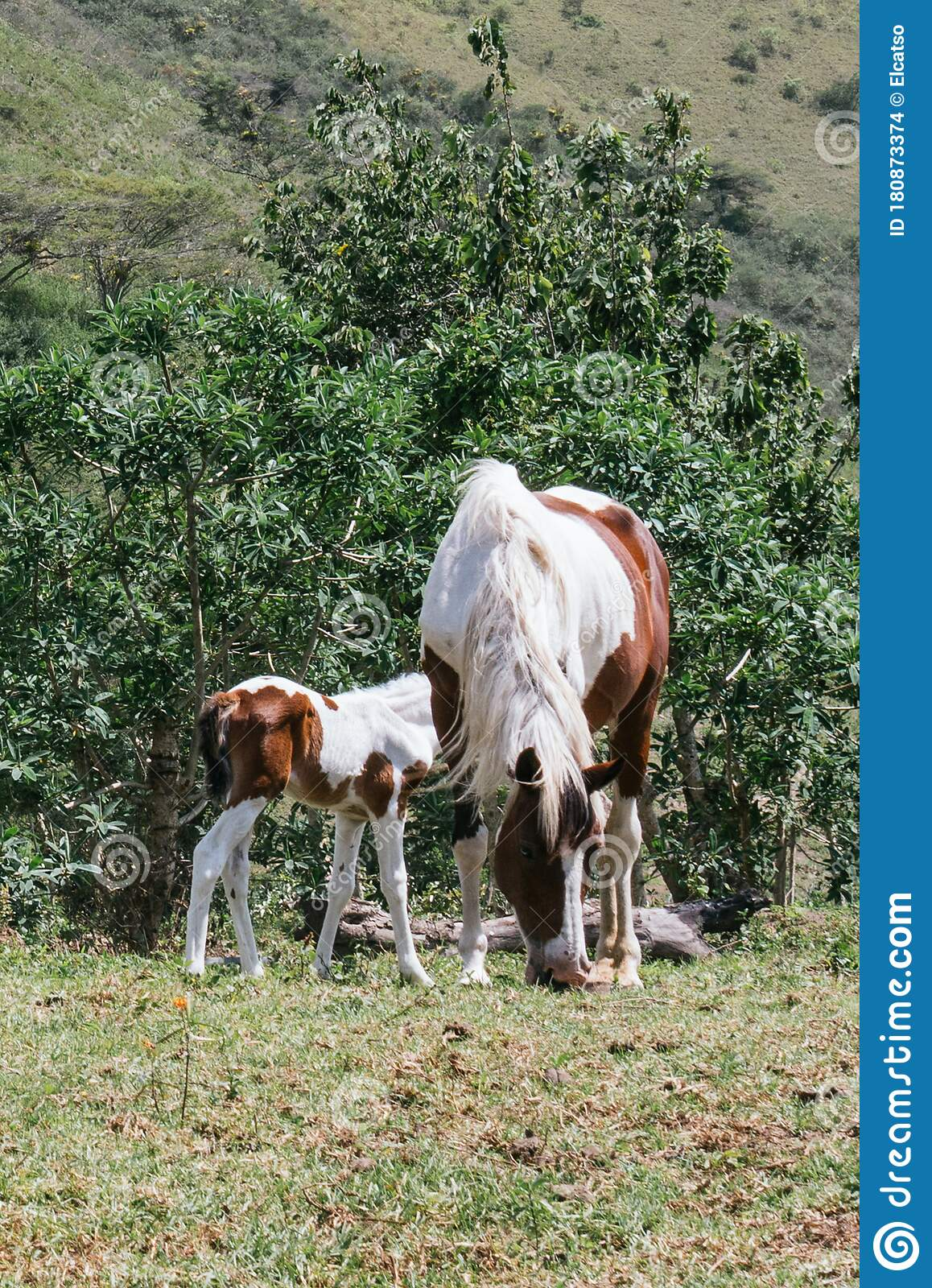 Mare And Foal Mother And Son Pinto Horses Stock Photo Image Of Meadow Funny 180873374