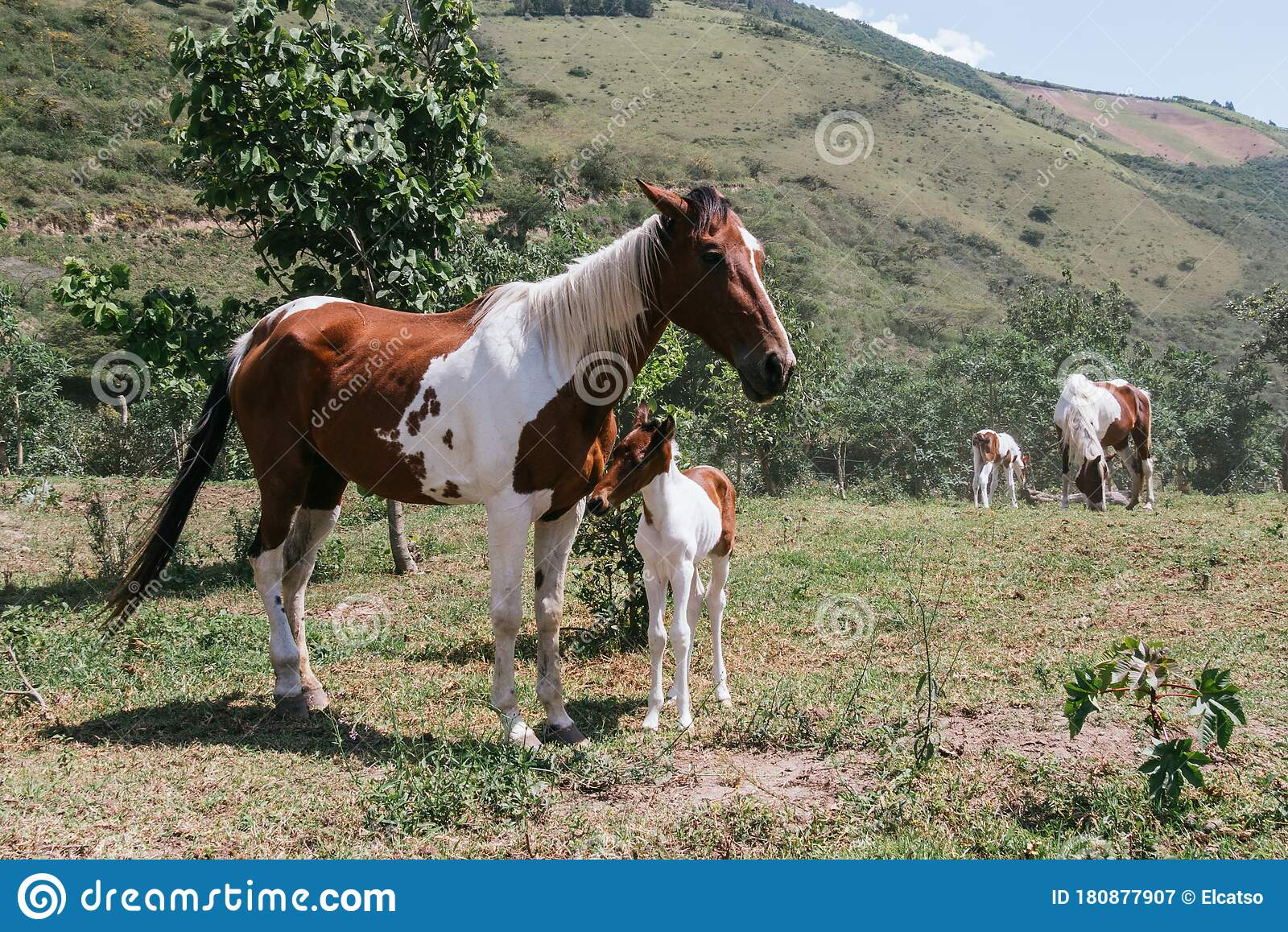 Mare And Foal Mother And Son Pinto Horses Stock Image Image Of Merry Funny 180877907
