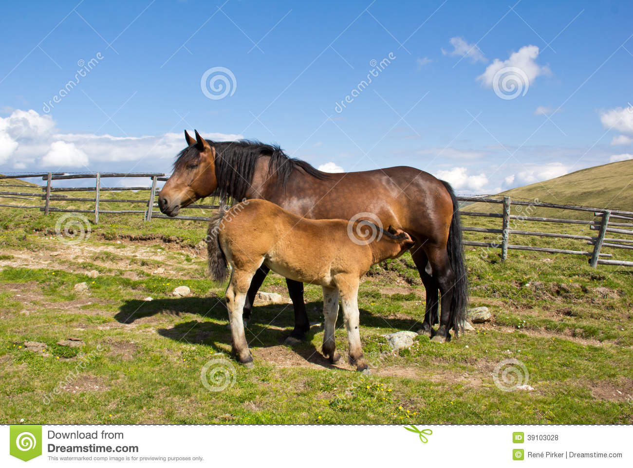 Mare Giving Milk To Foal