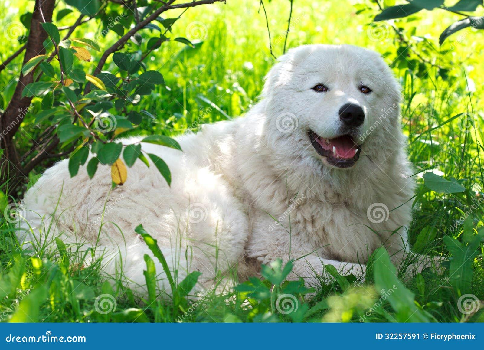 Maremma lub Abruzzese patrolu pies odpoczywa pod krzakiem na trawie