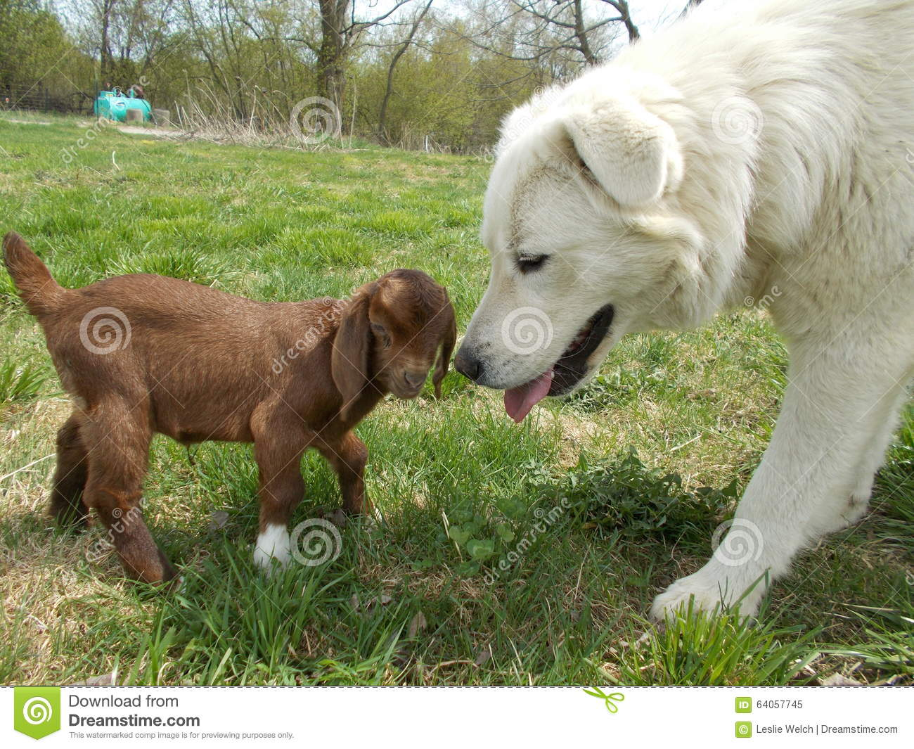 White Maremma Sheep guardian dog with brown baby kid goat on grass.