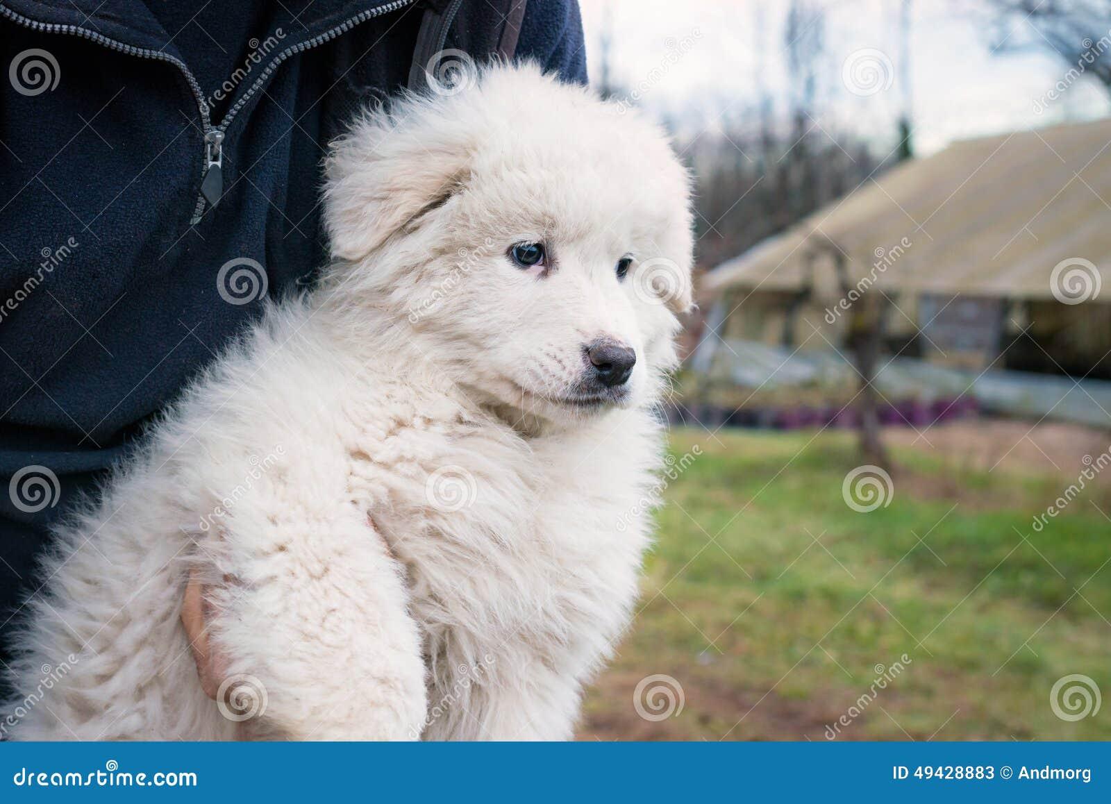 Maremma Sheepdog Puppy Stock Image Image Of Outdoors