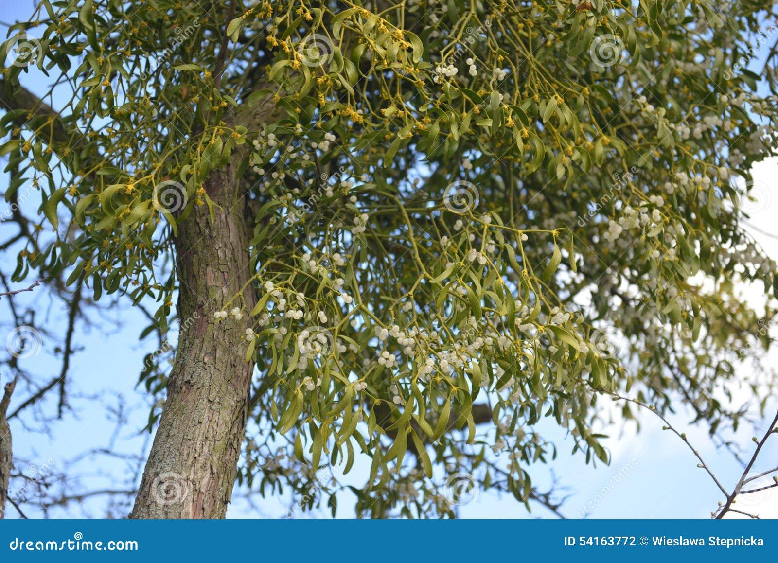 Maretak het groeien op de tak van een boom