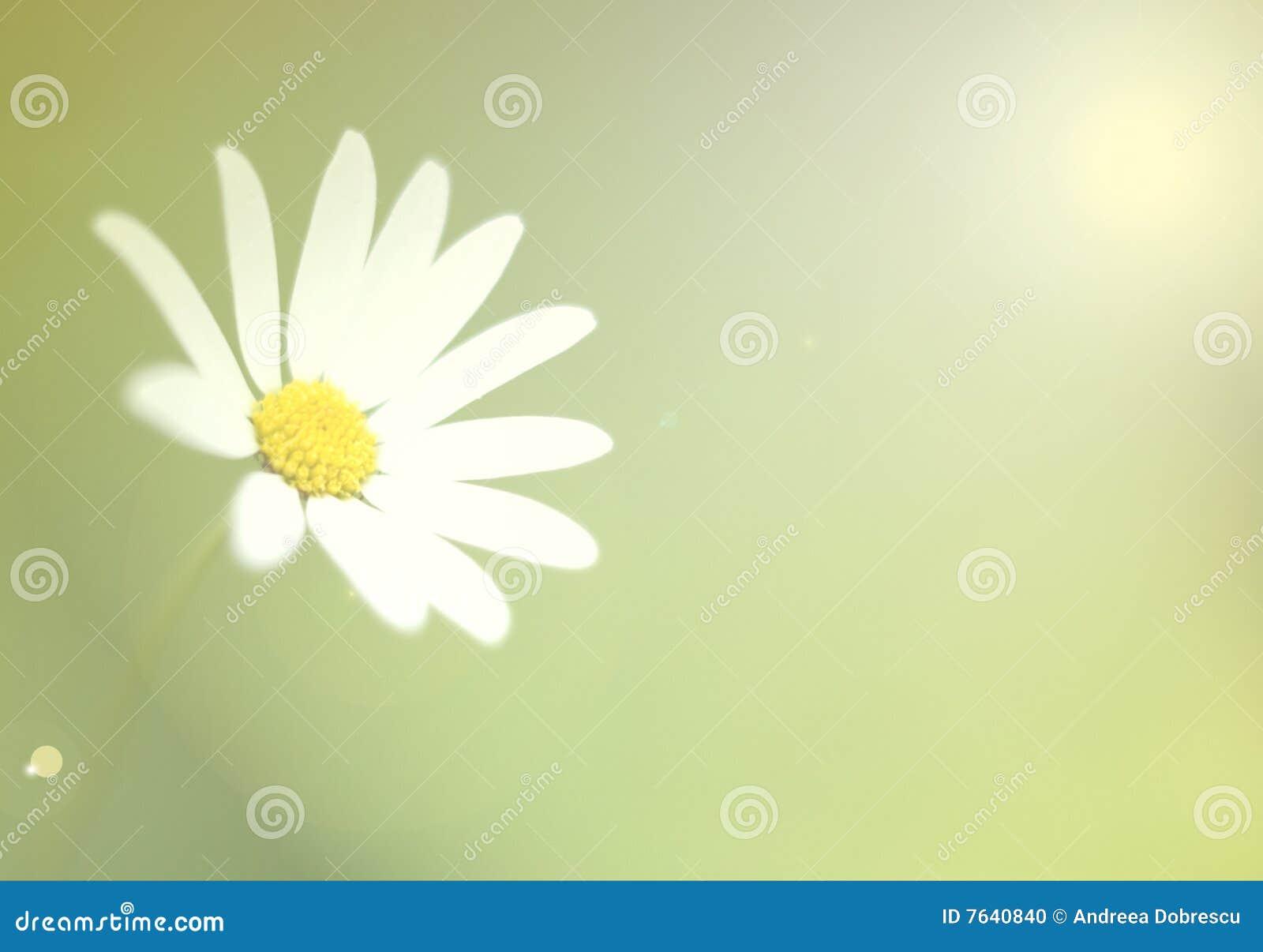 Margarida branca