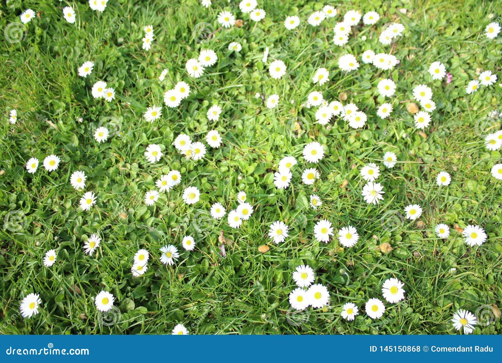 Margarida branca Flores brancas da camomila