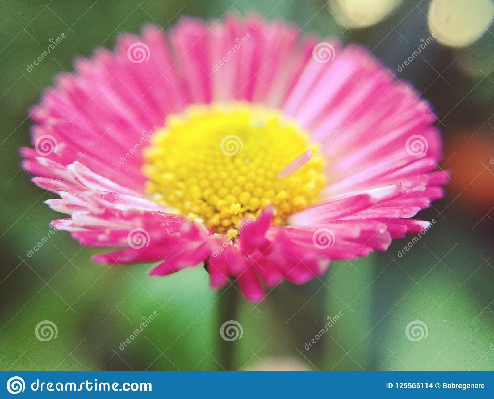 Margarida cor-de-rosa