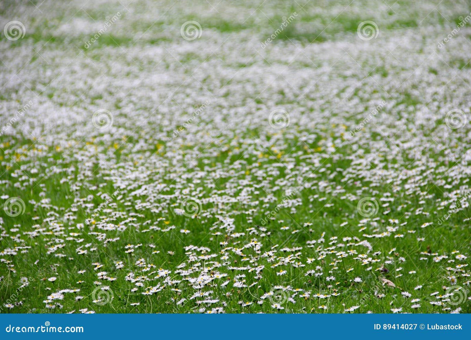 A margarida da mola floresce o prado