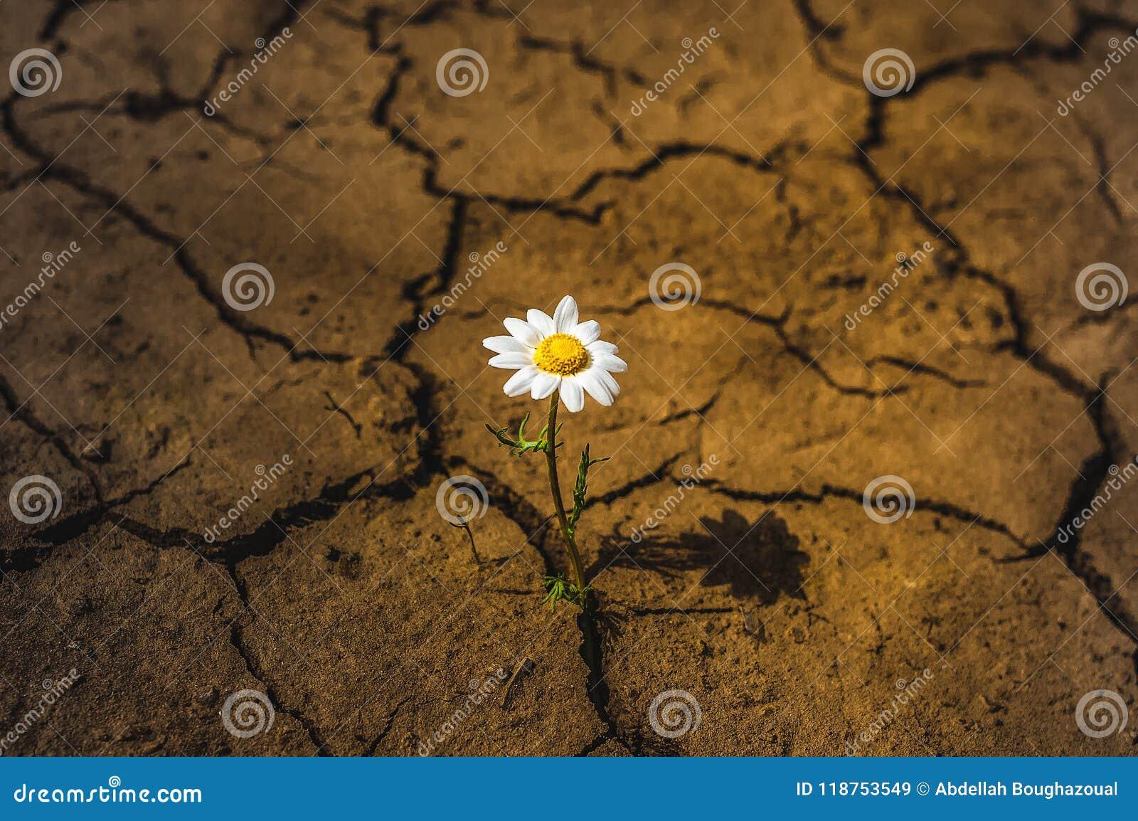 Margarida Da Terra Seca Da Flor No Deserto Imagem De Stock Imagem
