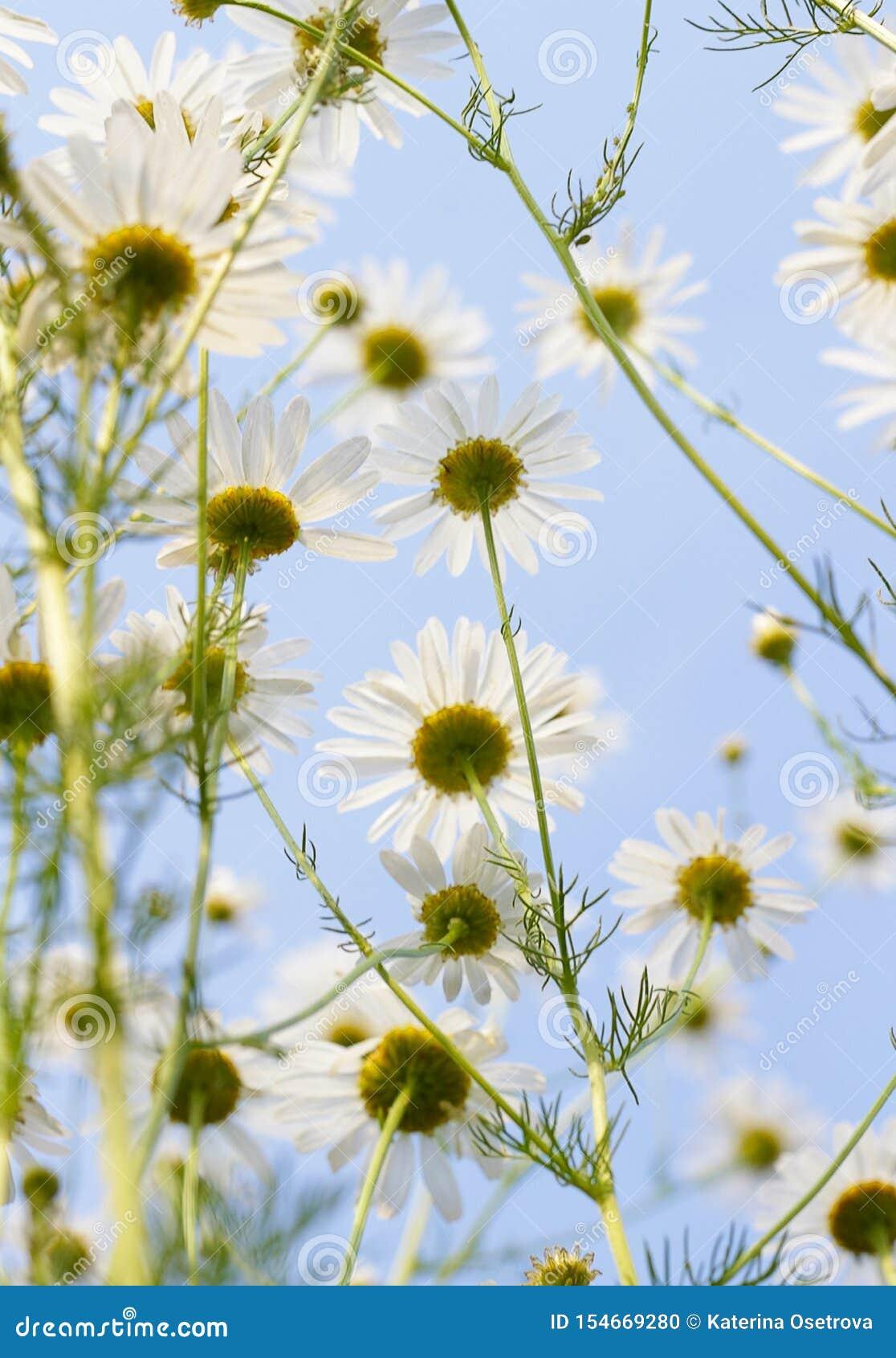 Margarida de florescência contra um céu azul Flor de florescência amarela branca do prado