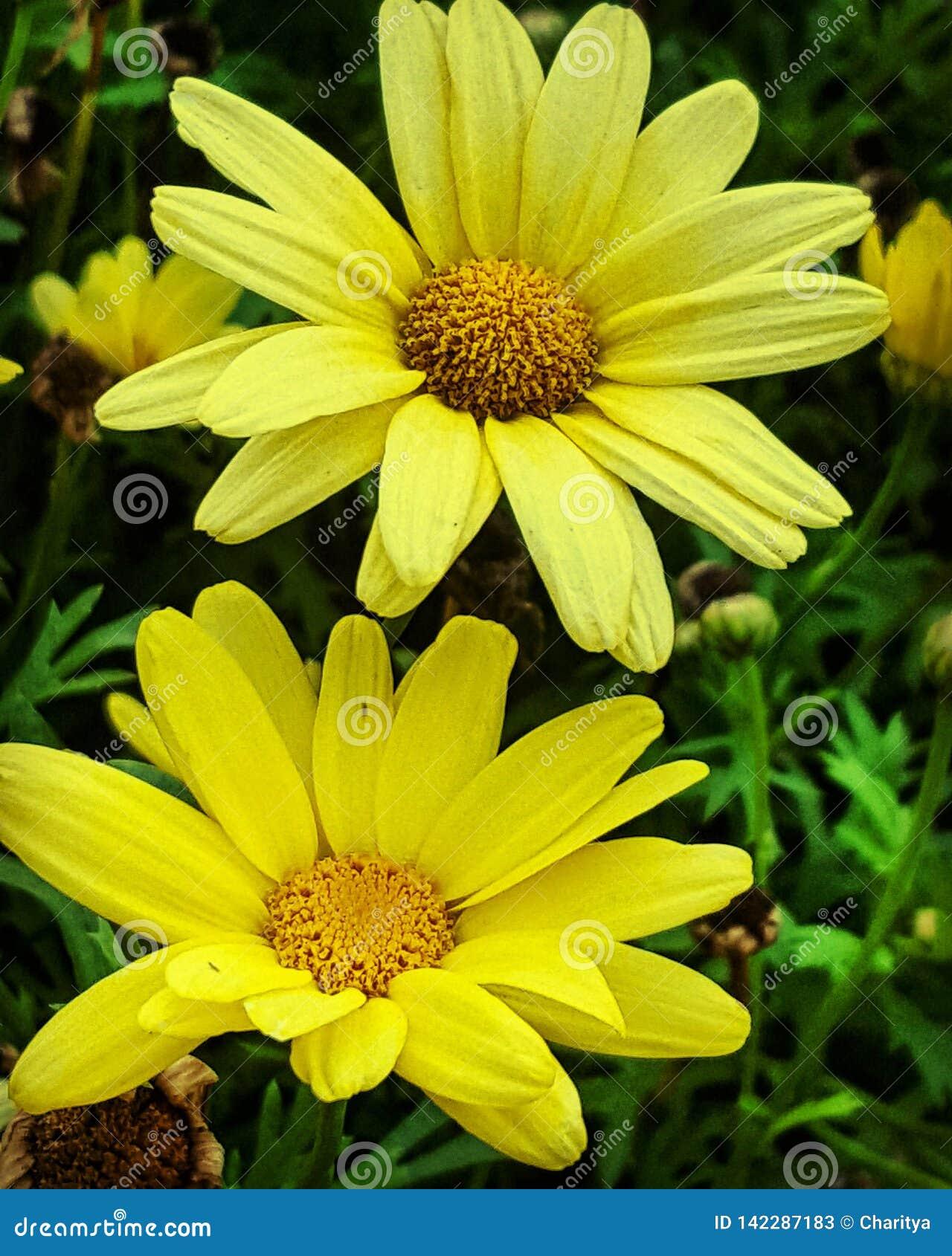 Margarida dois amarela