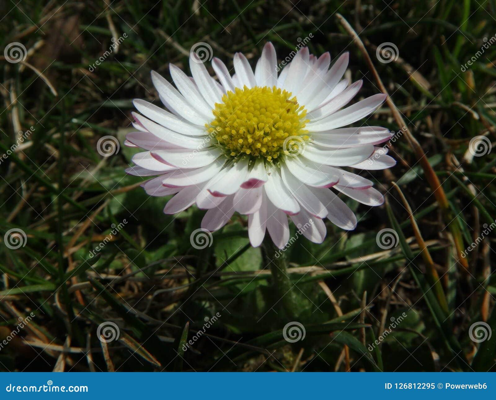 Margarida mágica em um prado do verão, marguerite, Asteraceae, flores