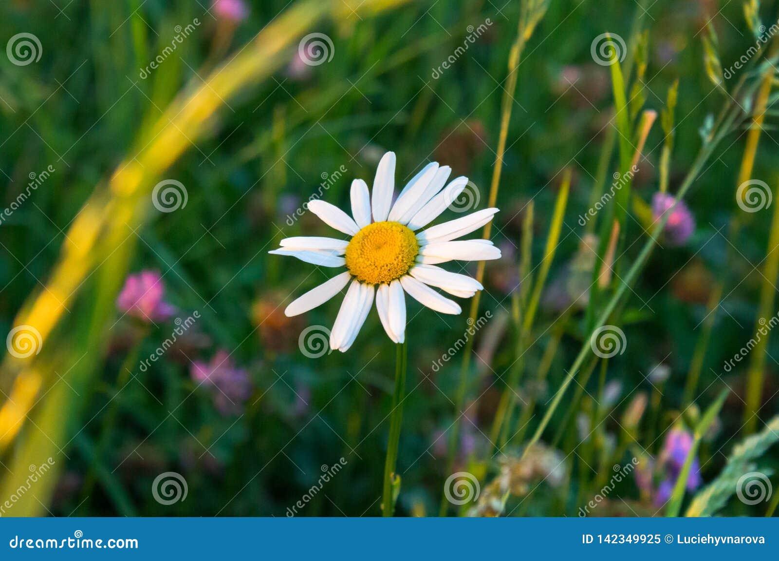 Margarida solitária no campo