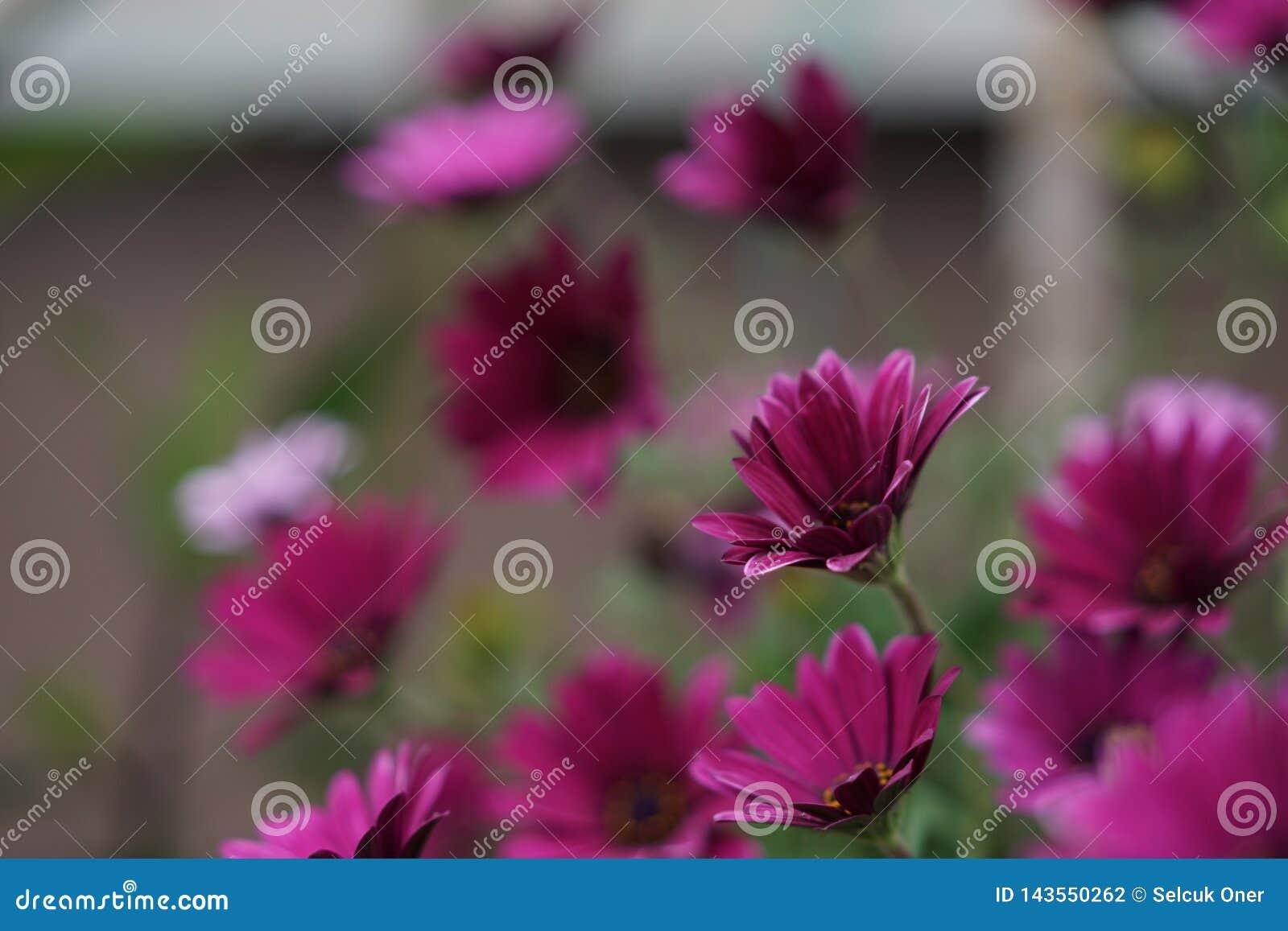 Margarida violeta