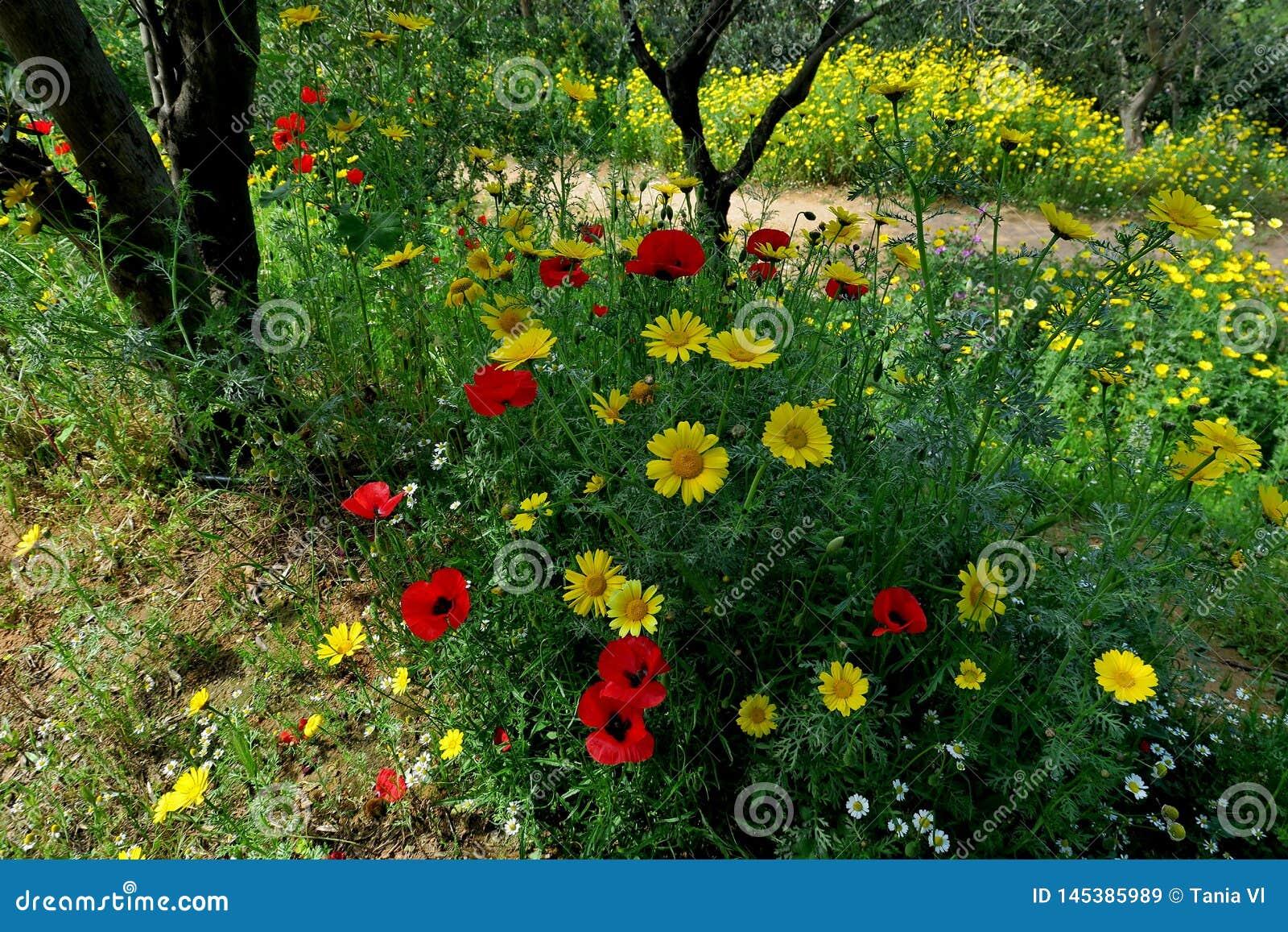 Margaridas amarelas bonitas e papoilas vermelhas no close up da floresta
