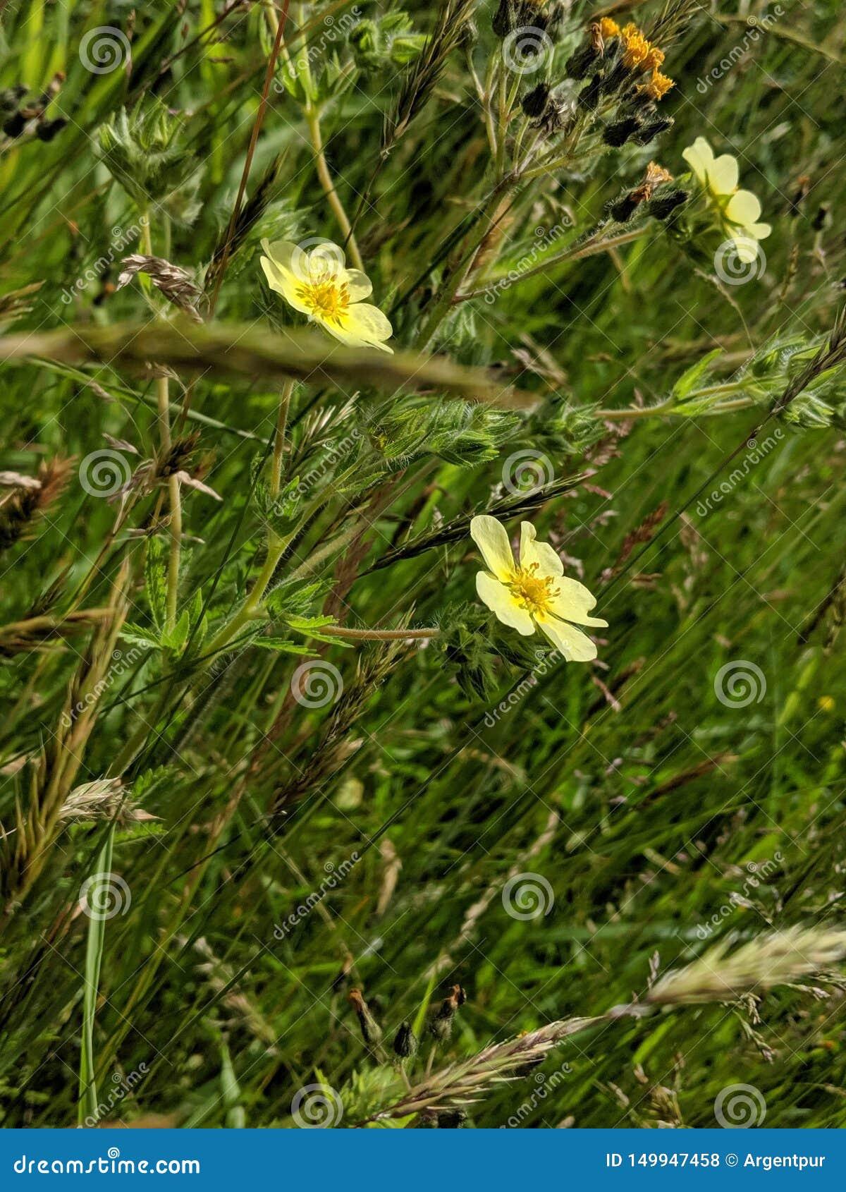 Margaridas amarelas no prado