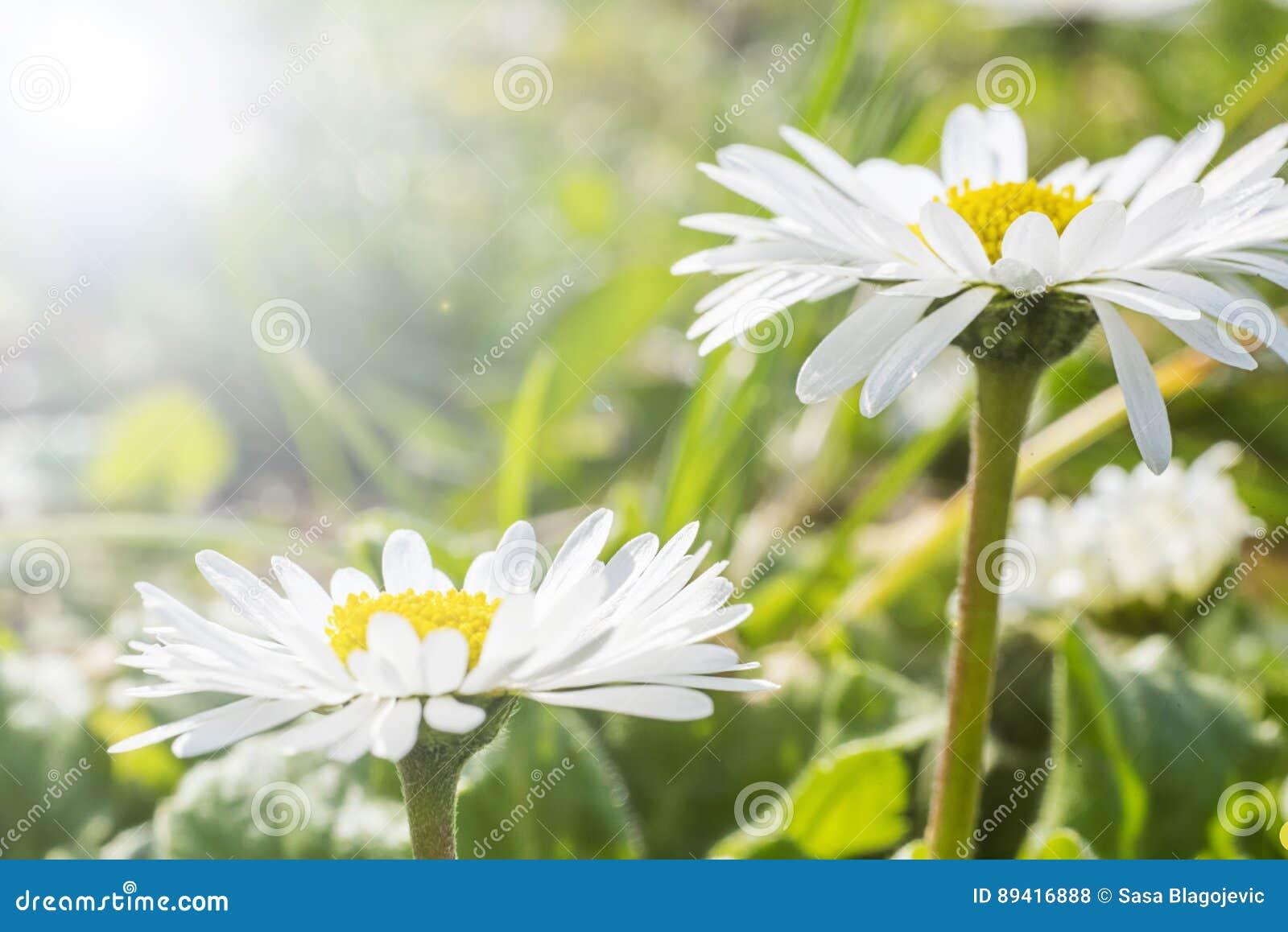 Margaridas brancas em um jardim