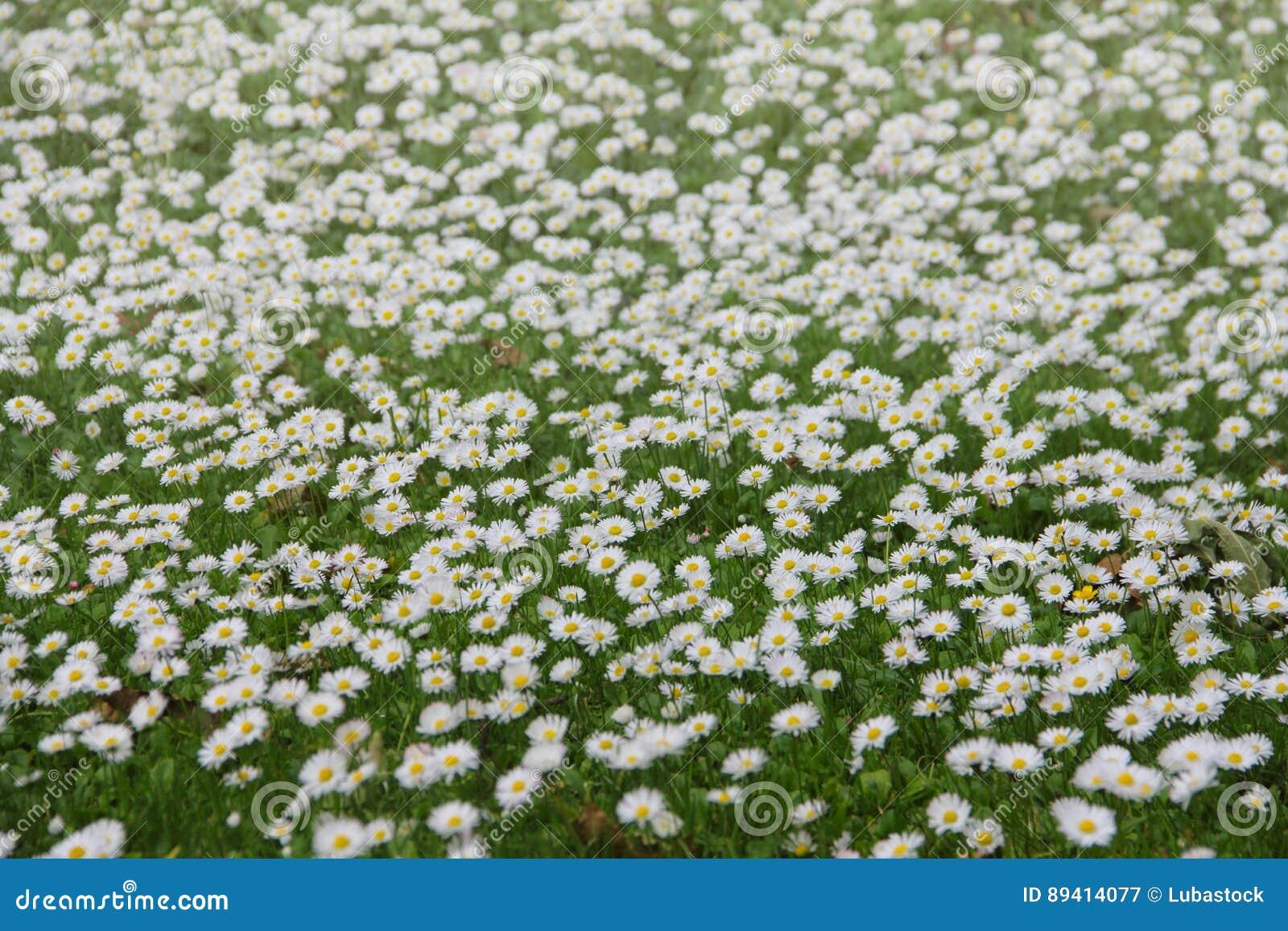 Margaridas brancas no prado