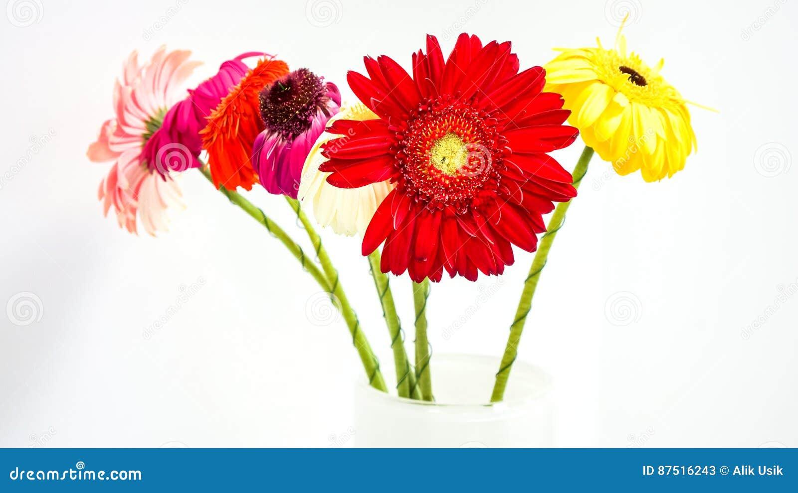Margaridas coloridas do gerber no fundo branco