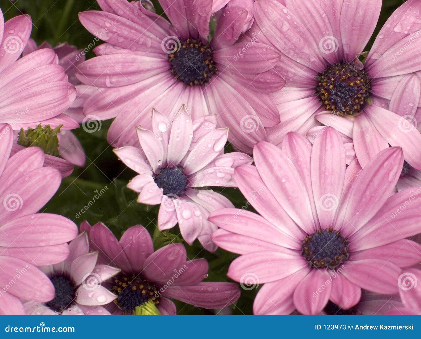 Margaridas cor-de-rosa
