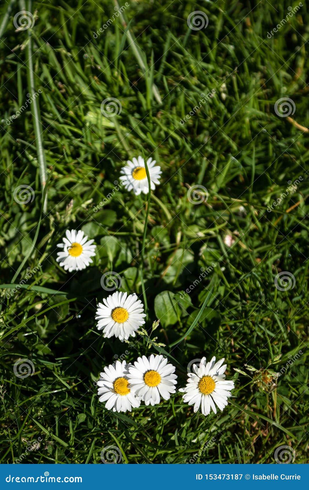 Margaridas do verão na grama