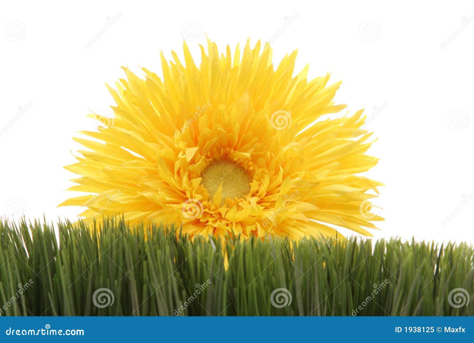 Margaritas De Colores En La Hierba 30995: Margarita Amarilla Hermosa En La Hierba Verde Aislada En