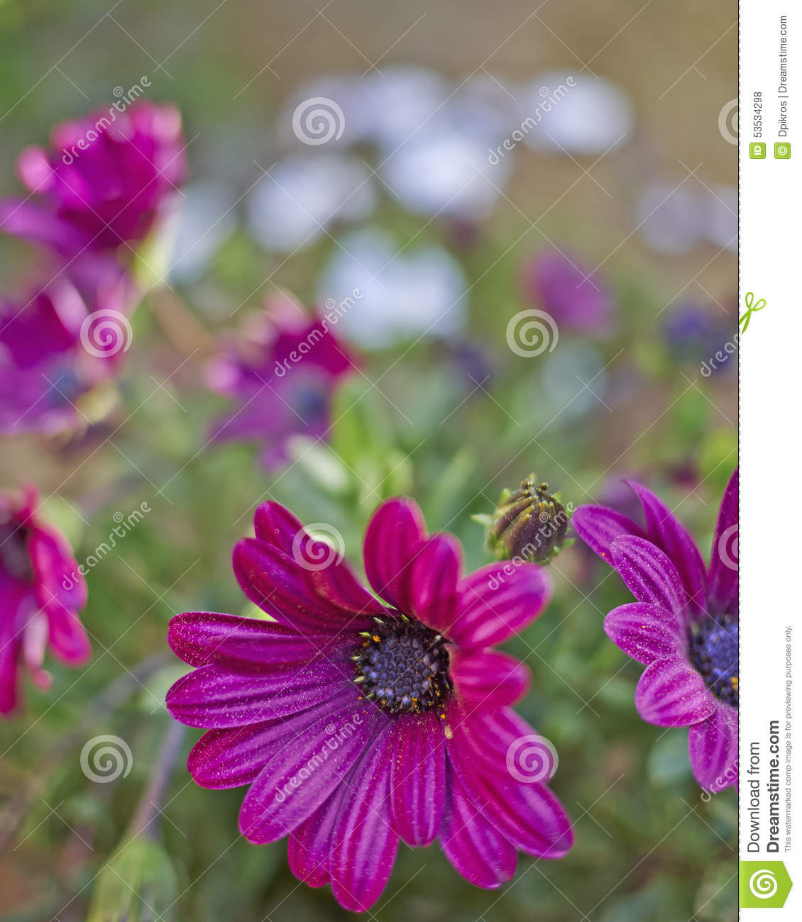 Margarita Flowers Closeup In The Garden Stock Image