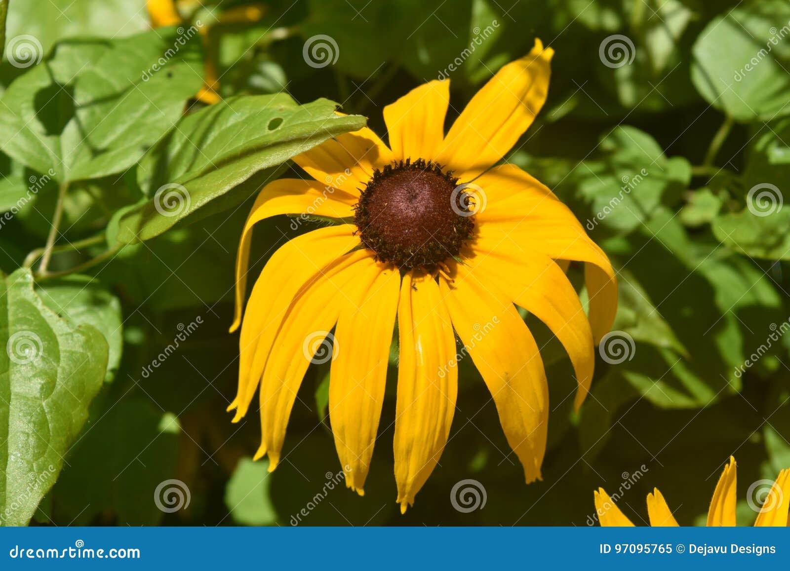Margarita observada negro amarillo hermoso en la primavera