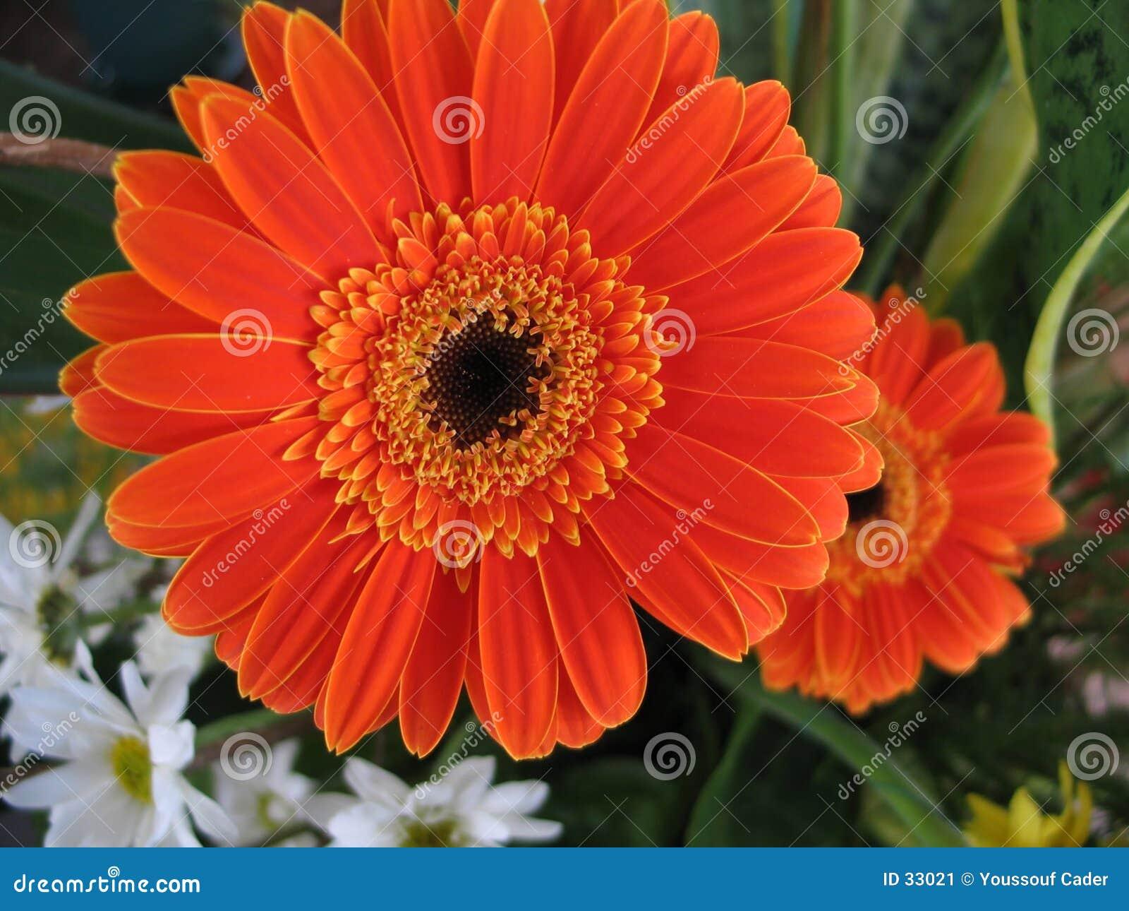 Download Margaritas imagen de archivo. Imagen de margarita, botánico - 33021