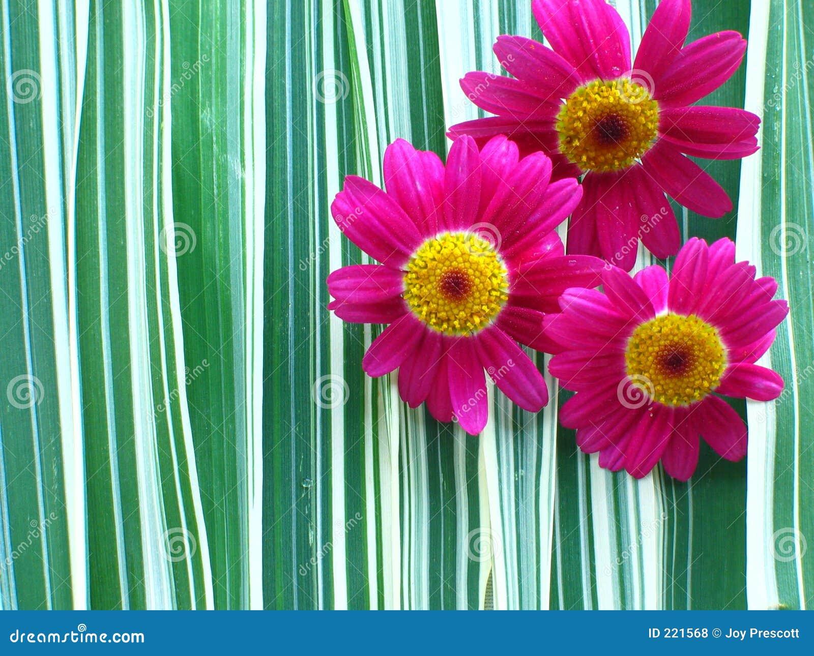 Margaritas De Colores En La Hierba 30995: Margaritas Del Color De Rosa Caliente Foto De Archivo