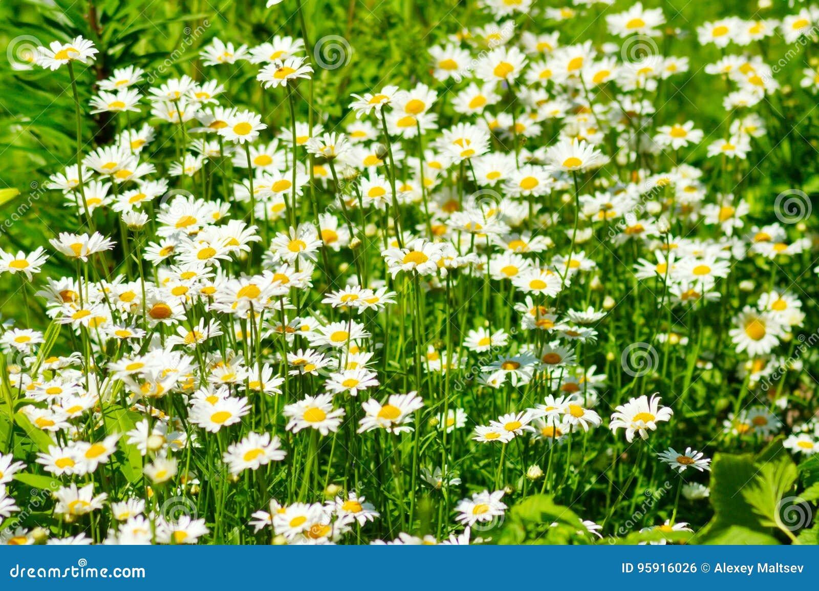 Margaritas del verano e hierba verde