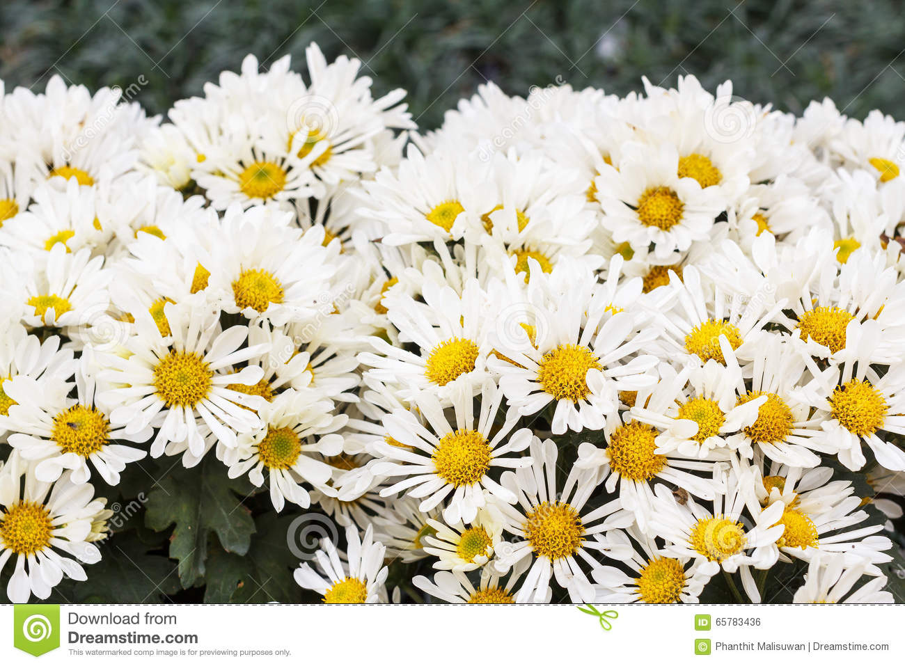 Margaritas Flowers White Flowers Stock Image