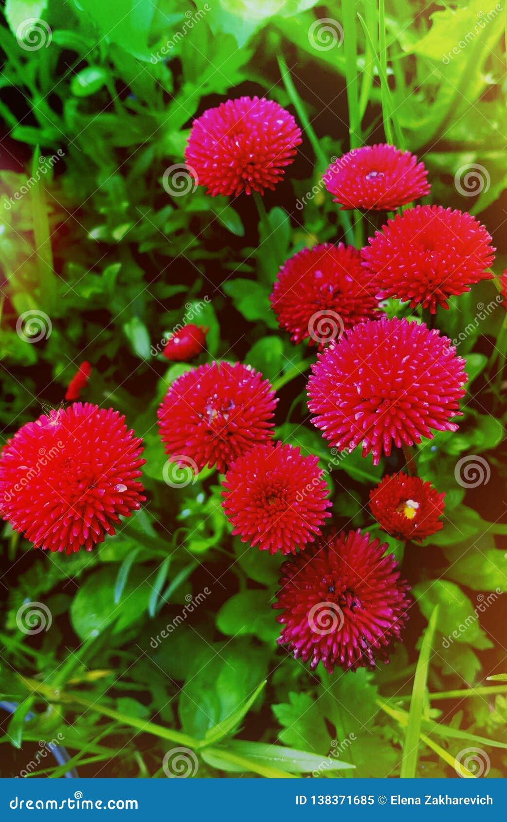 Margaritas rojas en el jardín