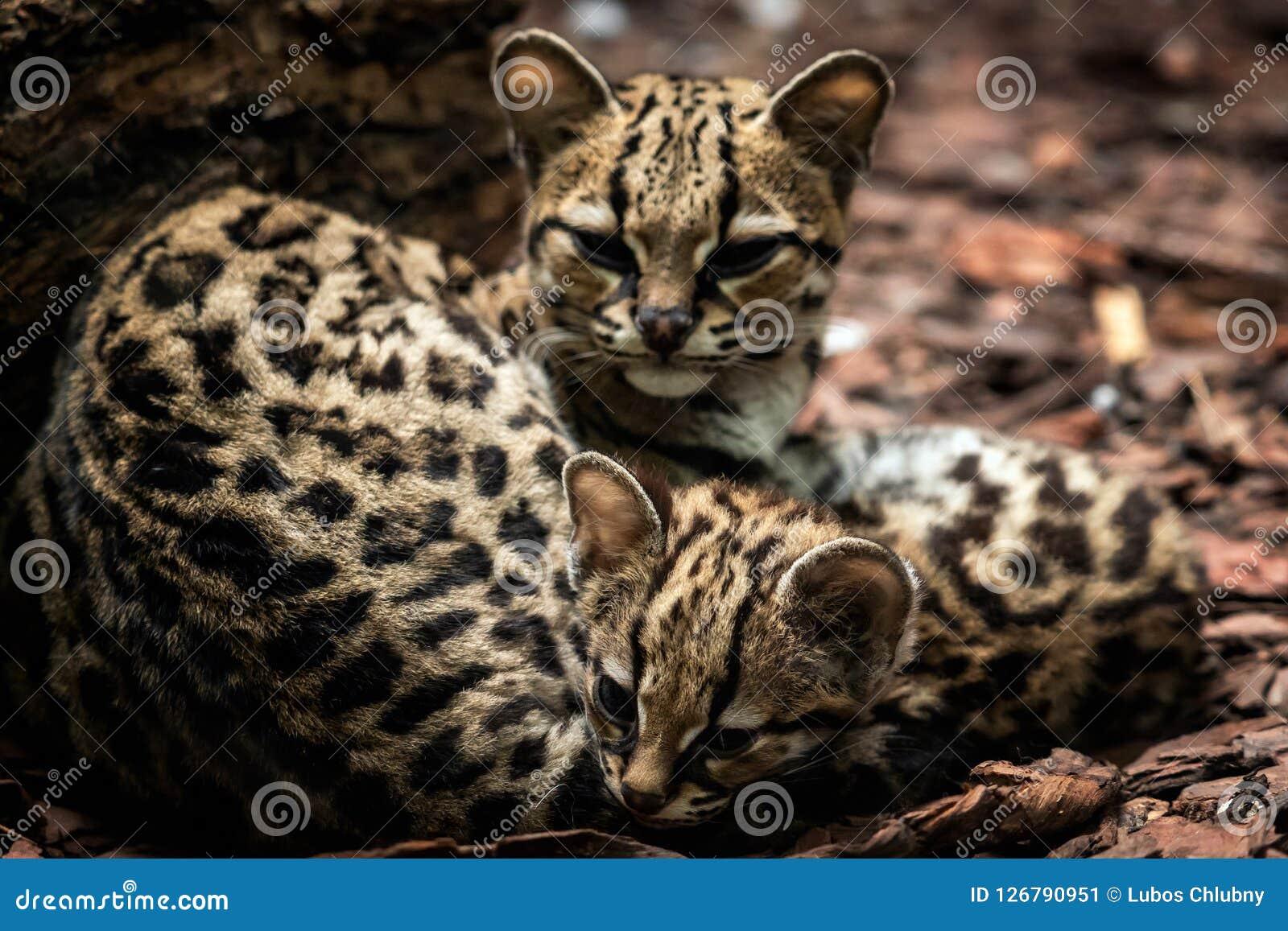 Margay den Leopardus wiediien, kvinnlig med behandla som ett barn