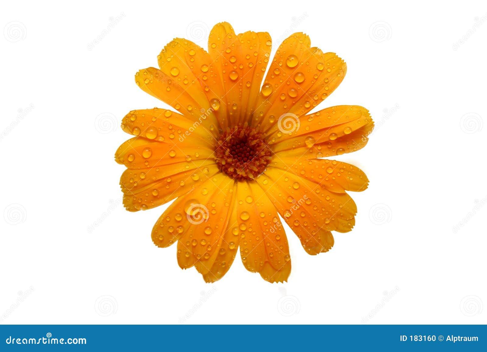 Margherita bagnata gialla del gerber sopra bianco