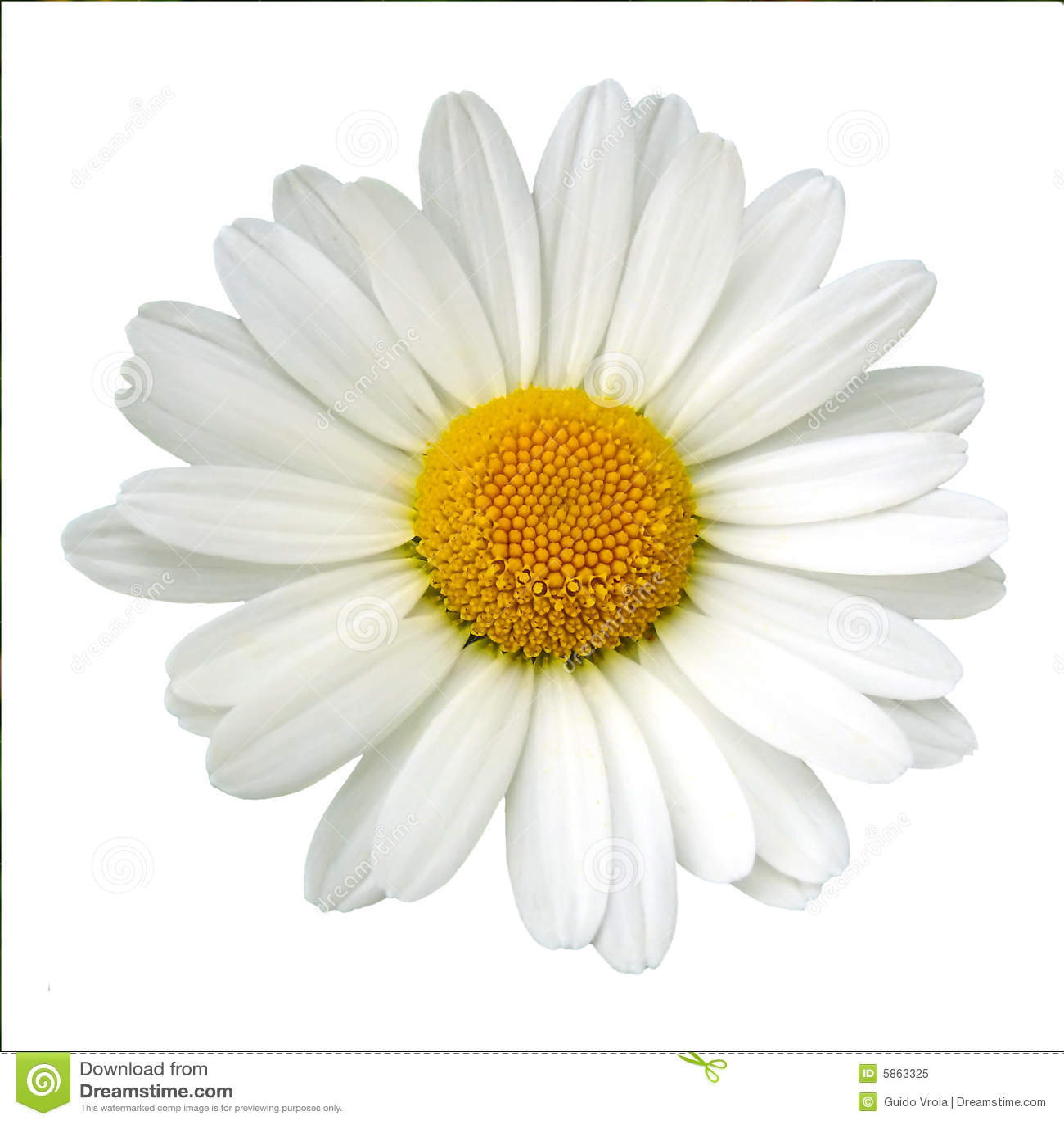 Margherita bianca fotografia stock libera da diritti for Potatura margherite