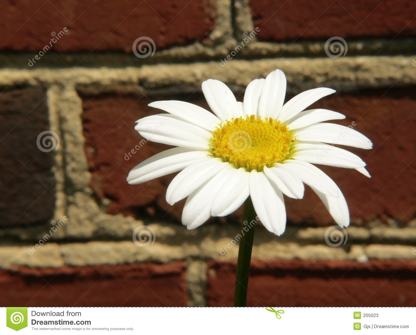 Margherita bianca singola