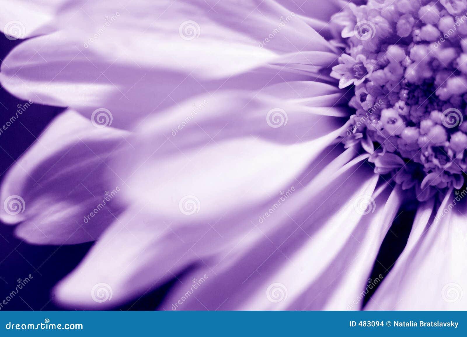 Margherita nella viola