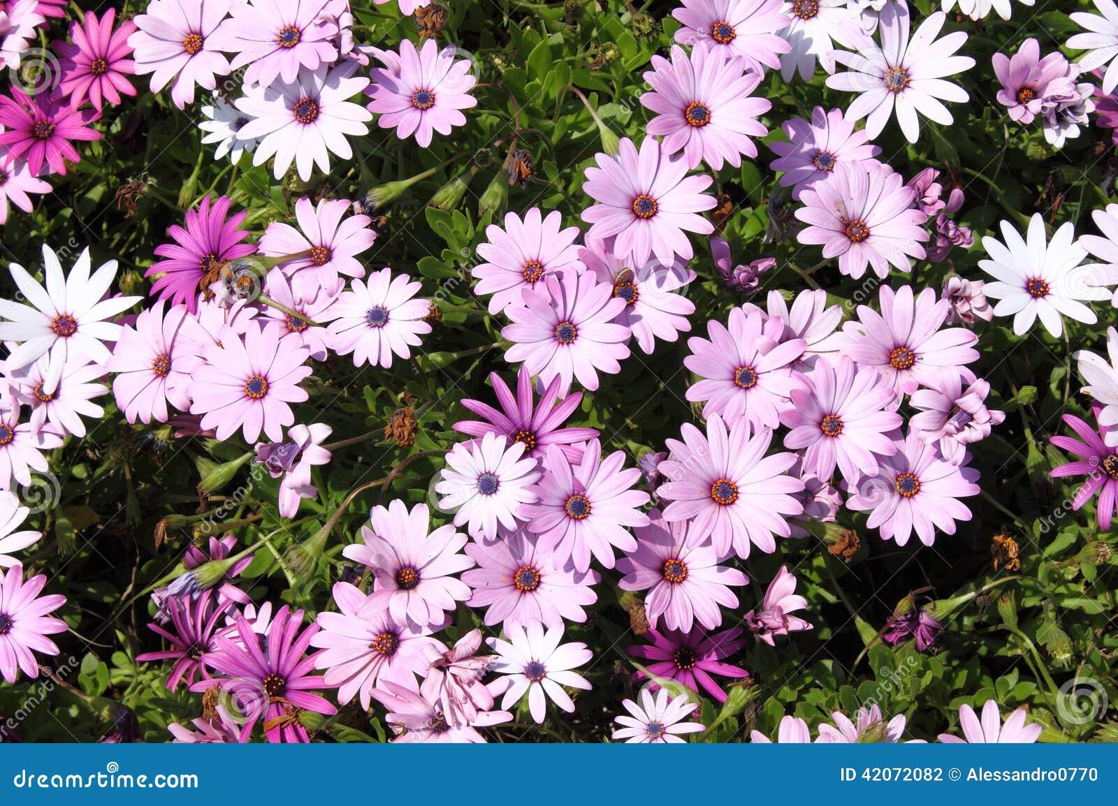 margherite rosa fotografia stock immagine 42072082