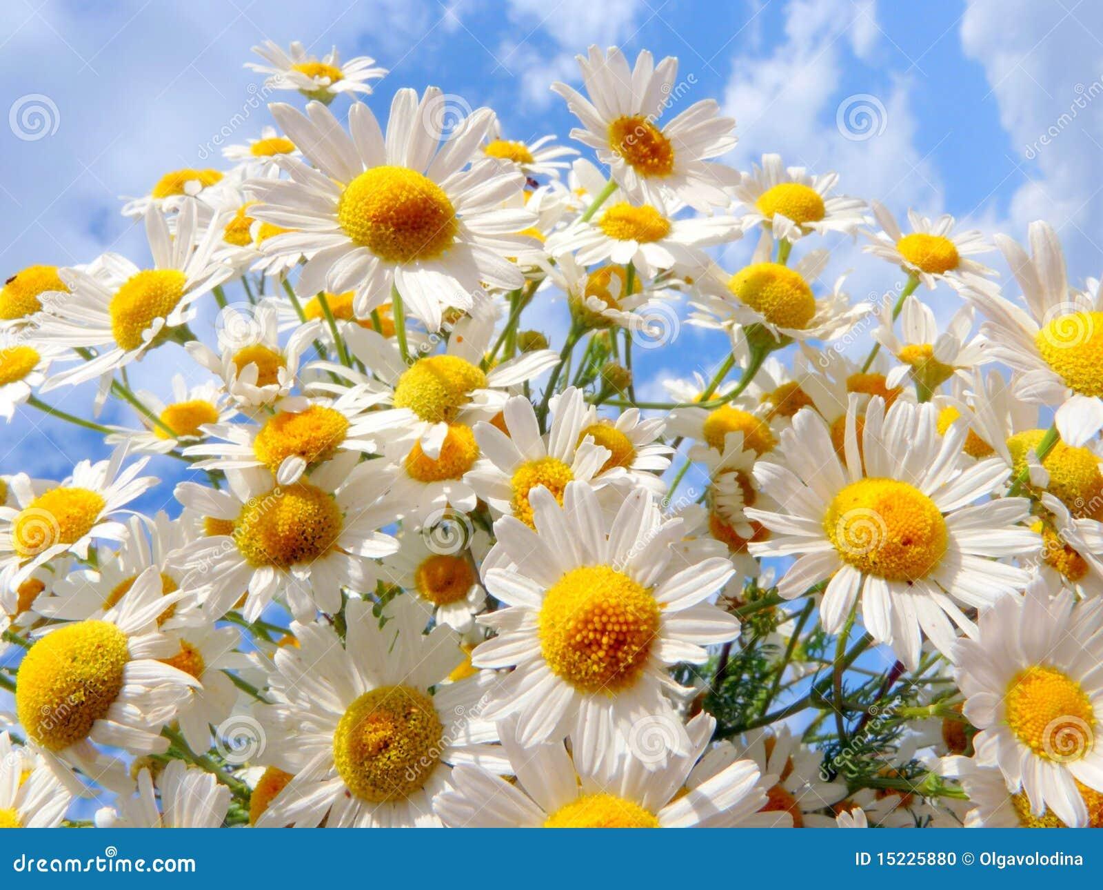 Margrieten op een achtergrond van een mooie hemel stock foto afbeelding 15225880 - Een mooie kamer van een mooie meid ...
