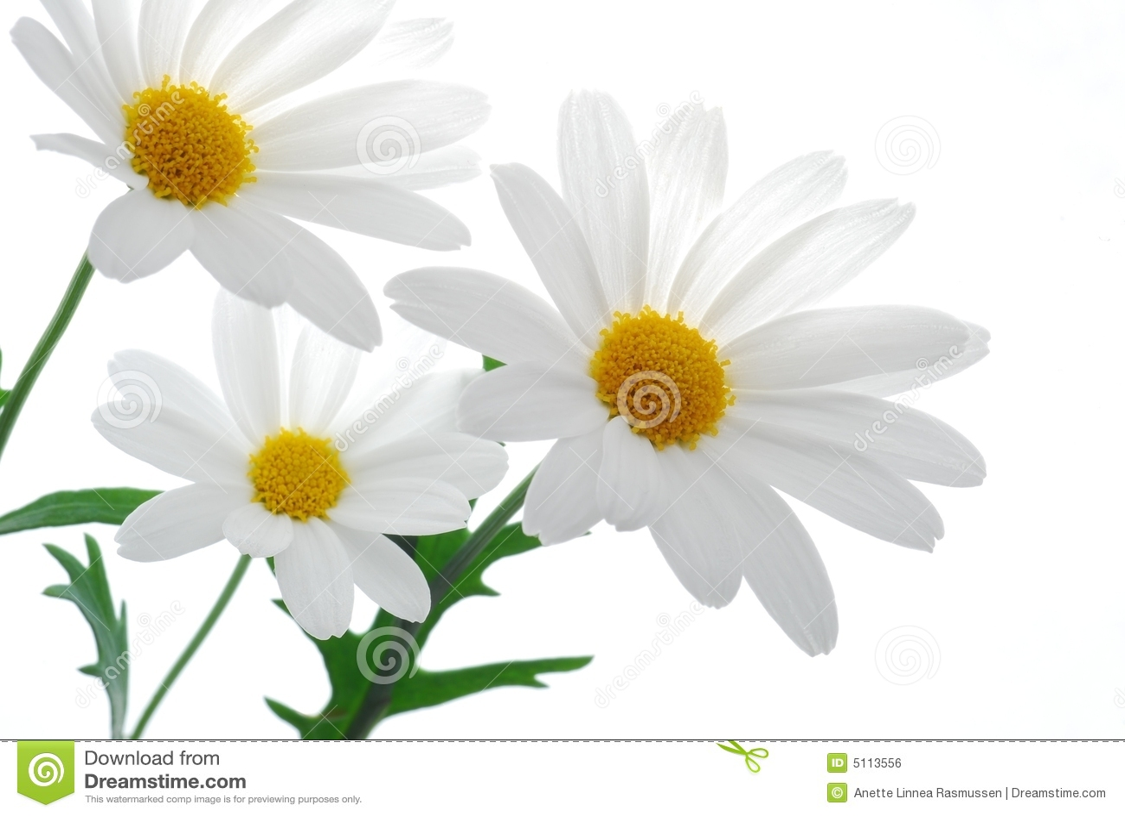 Marguerite λευκό άνοιξη