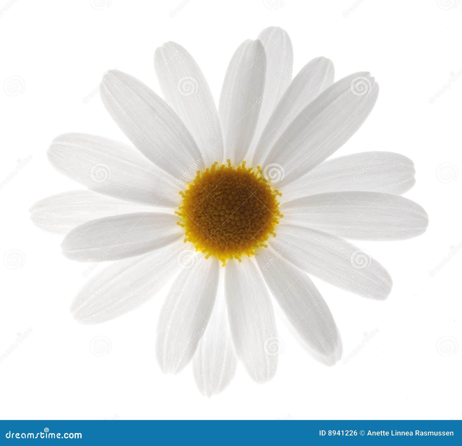 Marguerite λευκό