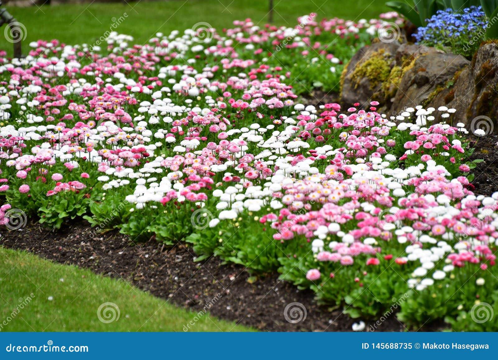 Les Jardins À L Anglaise marguerite anglaise dans les jardins de butchart victoria
