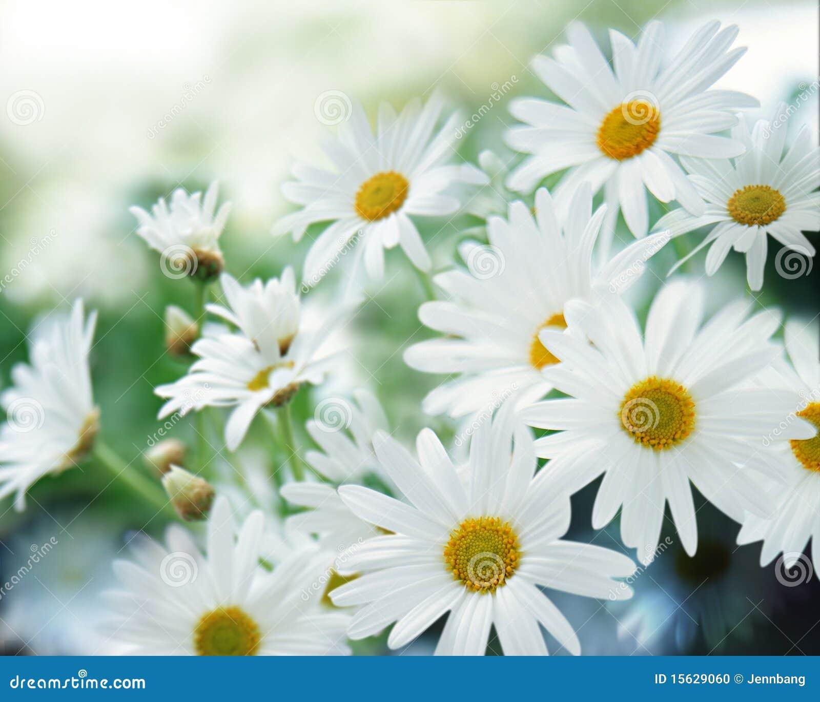 Marguerite blanche photo stock image 15629060 - Image fleur marguerite ...