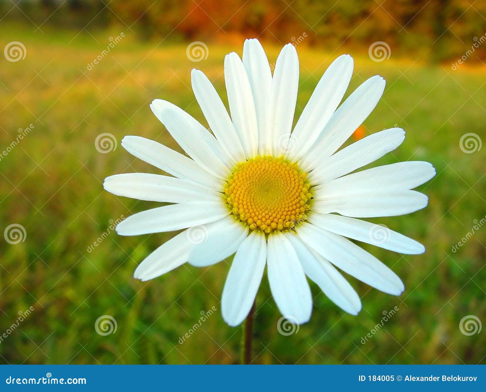 Marguerite blanche sur le fond coloré