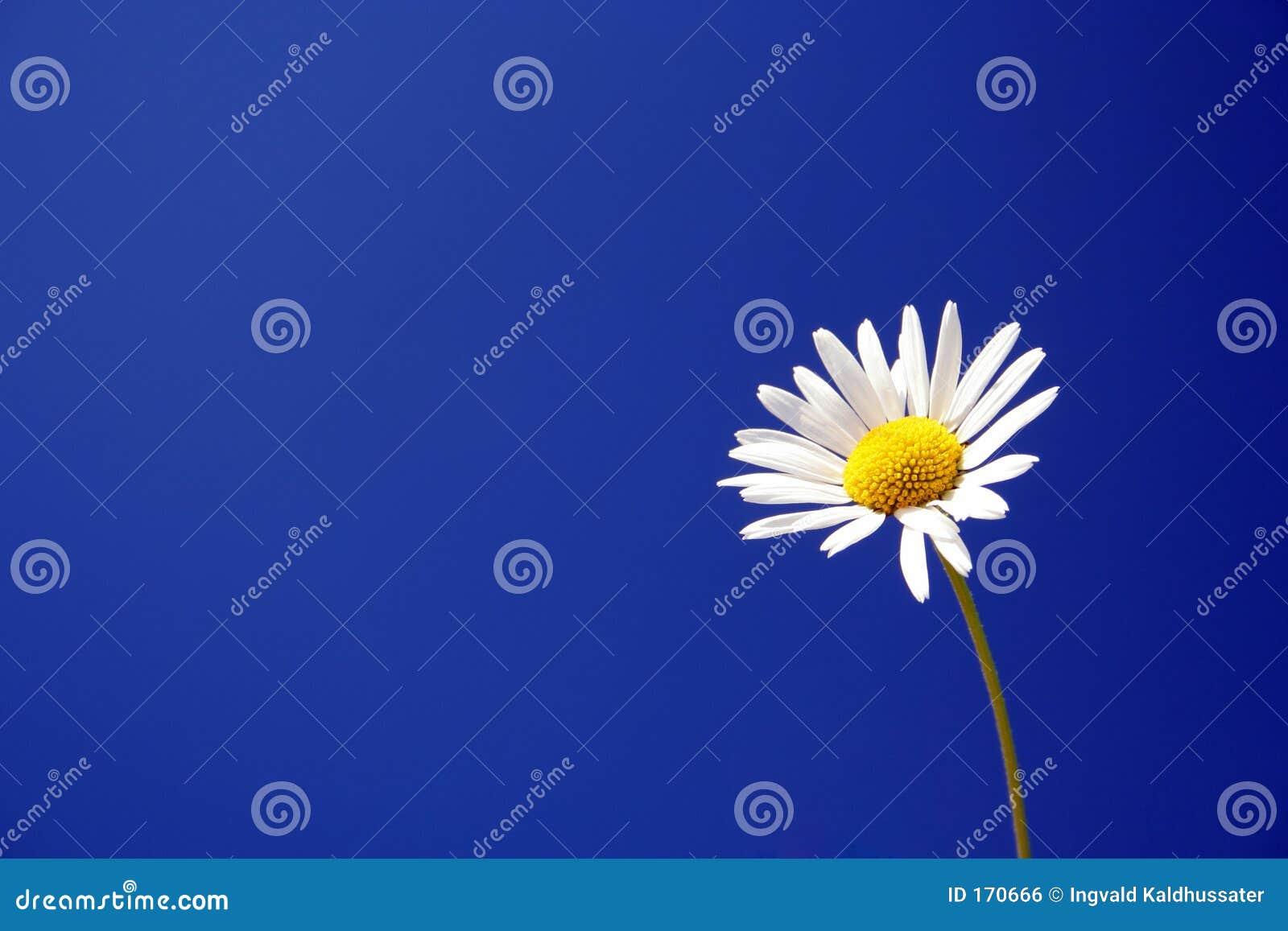 Marguerite contre un ciel bleu