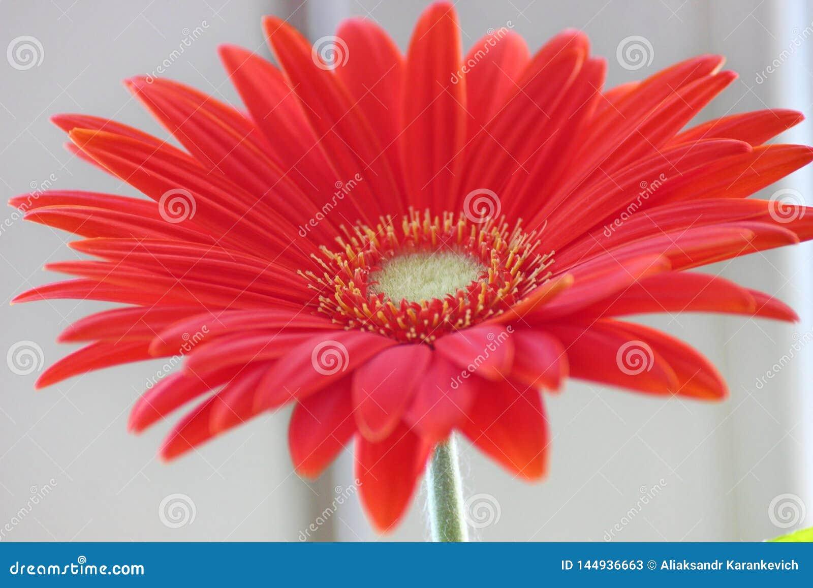 Marguerite de Gerber gerberas oranges ou rouges de fleur dans un pot de fleurs sur la fen?tre usines ? la maison, processus long