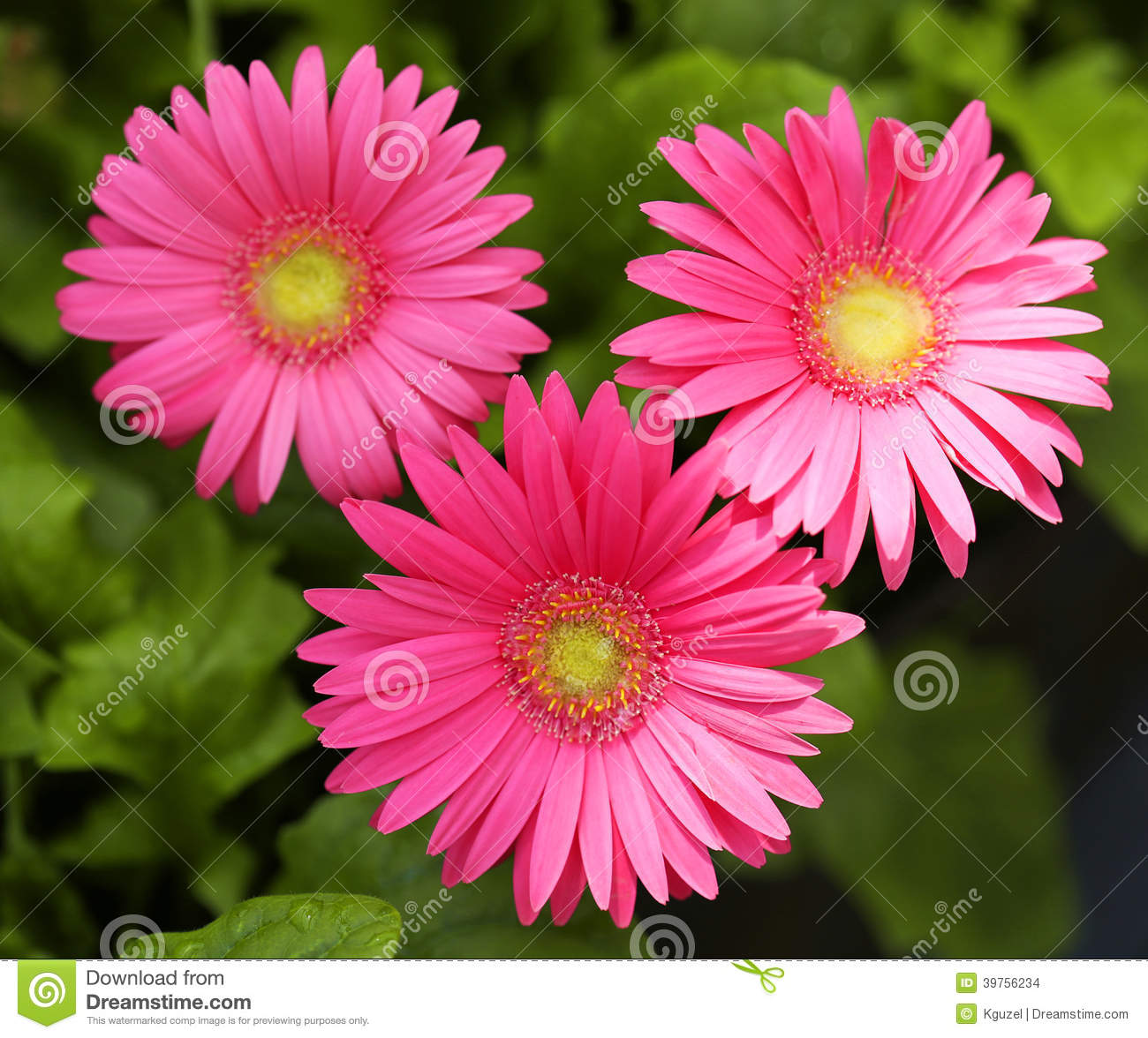 Marguerite de gerbera fleurs de roses indien photo stock for Bouquet de fleurs gerbera