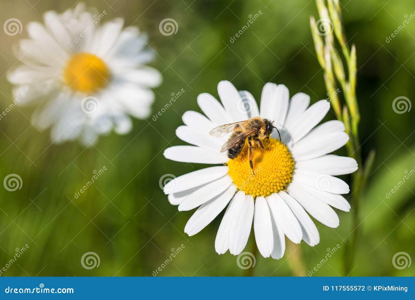 Marguerite des prés blanche et abeille européenne de miel Vulgare de Leucanthemum Mellifera d api