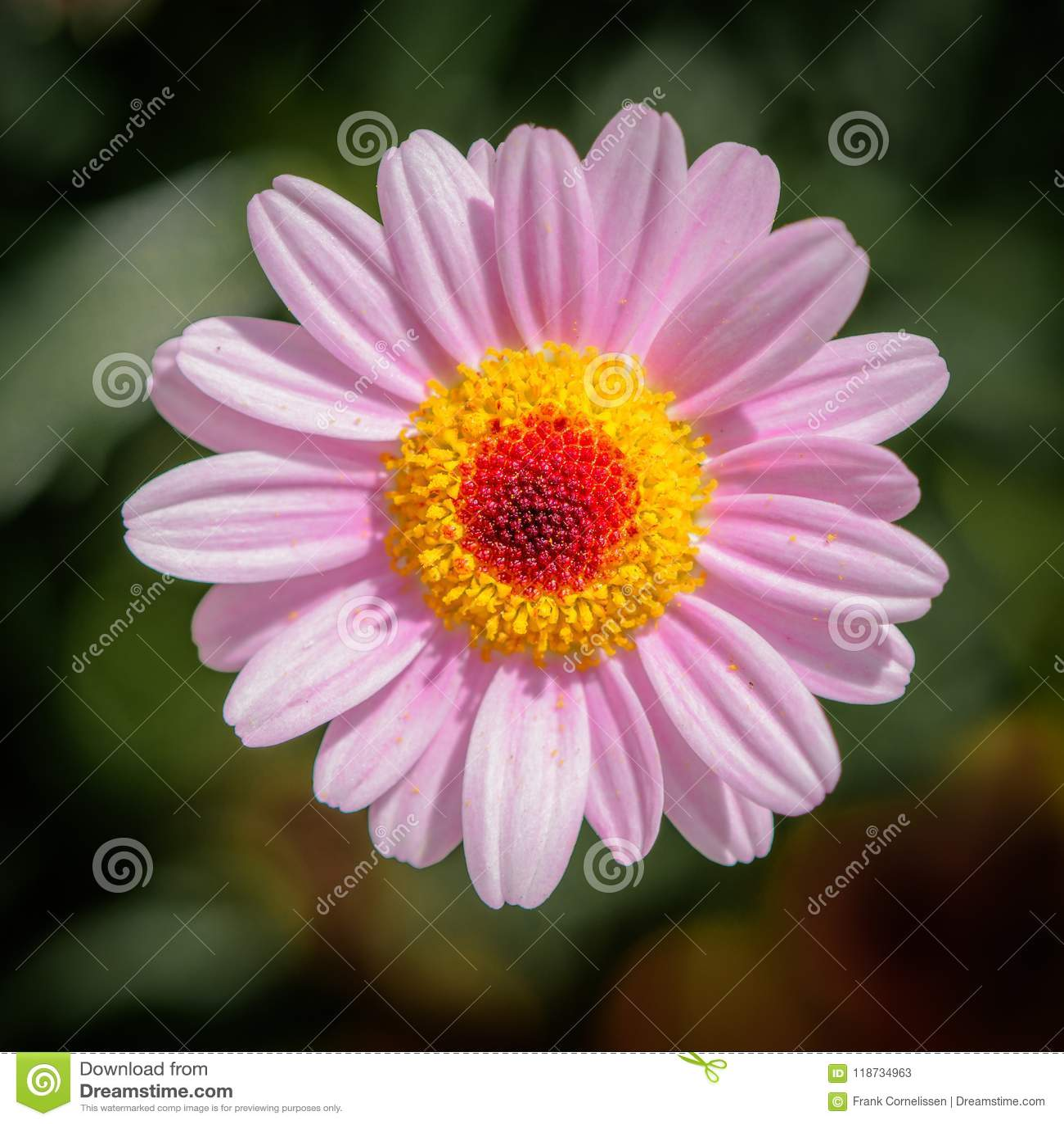 Marguerite des prés rose, fleurissant entièrement