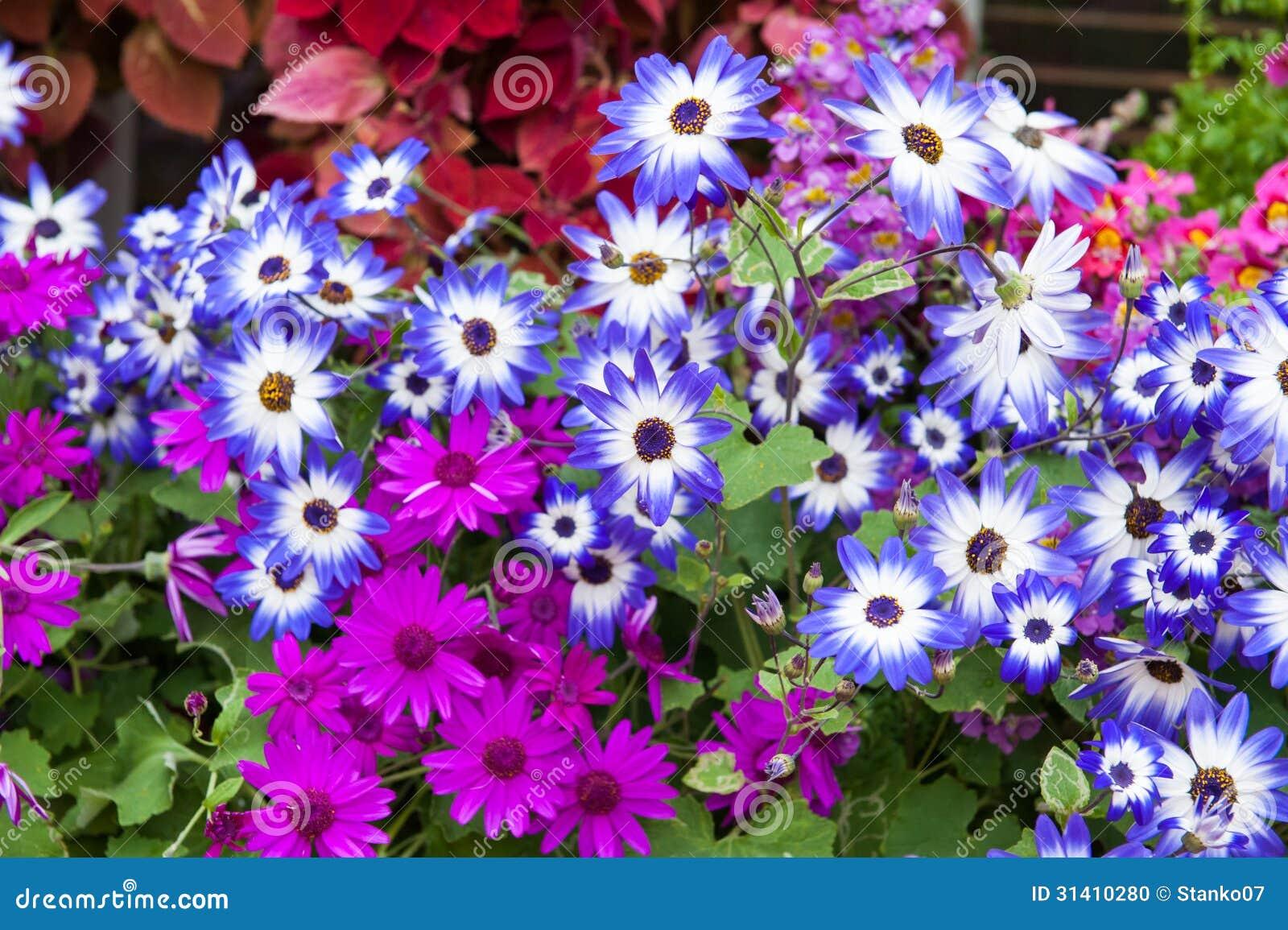 Marguerite Flowers Stock Photo Image 31410280